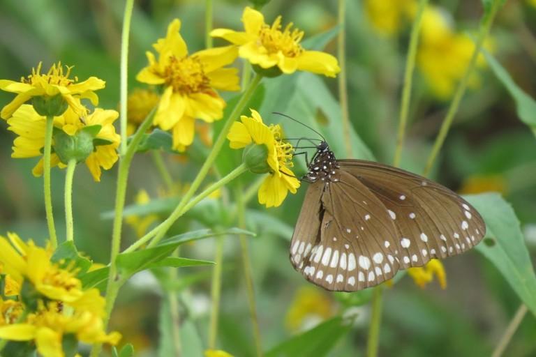 कॉमन क्रो। भोपाल के वन विहार में नेक्टर प्लांट पर तितलियां फूलों का रस लेती हुई नजर आती हैं। फोटो- मोहम्मद खालिक