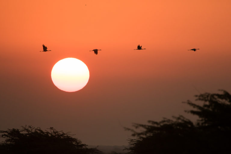 प्रवासी पक्षी कॉमन क्रेन अपनी लंबी उड़ान भरता हुआ। प्रवास के लिए पक्षी हजारो किलोमीटर की उड़ान भरते हैं। फोटो- उदया किरण/विकिमीडिया कॉमन्स