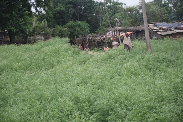 जंगल की बीच बसे उमरावन गांव को गाजर घास से चारो तरफ से घेर लिया है। यहां खेलते बच्चों को कई चर्मरोग और त्वचा संबंधी रोग का खतरा है। फोटो- मनीष चंद्र मिश्र/मोंगाबे हिन्दी