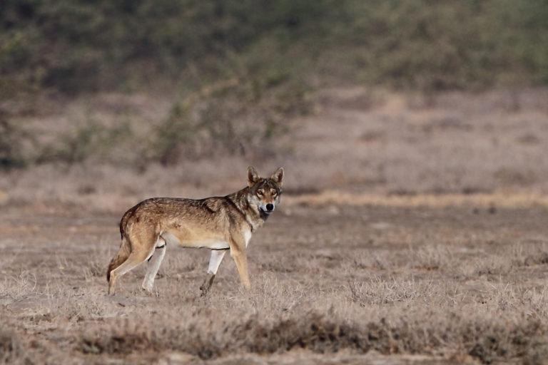 भारतीय भेड़िया की प्रतिकात्मक तस्वीर। फोटो- डेविस क्वान/फ्लिकर