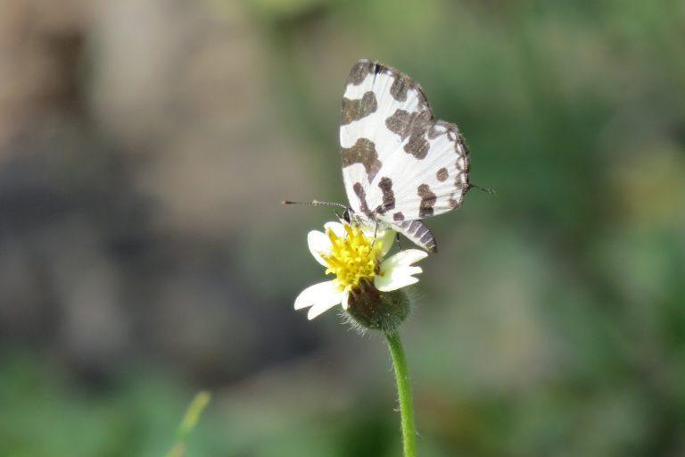 तितली की एक प्रजाकि एंगल्ड पायरोट। वन विहार भोपाल में ऐसे तीन दर्जन तितलियों की प्रजाति दिख रही है। फोटो- मोहम्मद खालिक