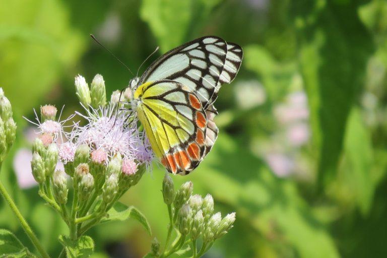 वन विहार भोपाल में तितलियों के लिए नेक्टर प्लांट लगाए गए हैं जिनके फूलों से इनको भोजन मिलता है। फोटो- मोहम्मद खालिक