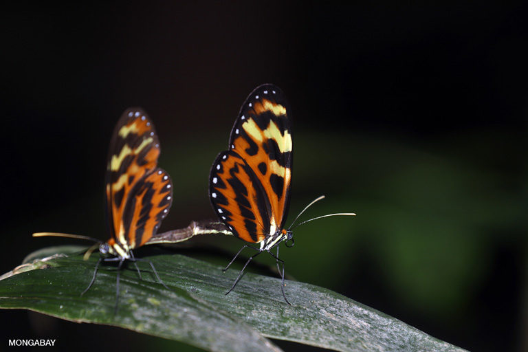 ऑरेंज-स्पॉटेड टाइगरविंग बटरफ्लाई (मैकेनाइटिस पॉलीमिया)। अपनी खूबसूरती के लिए मशहूर ये तितलियां जैव-विविधता के लिए बहुत महत्वपूर्ण होती हैं। फोटो- रेट ए. बटलर/मोंगाबे