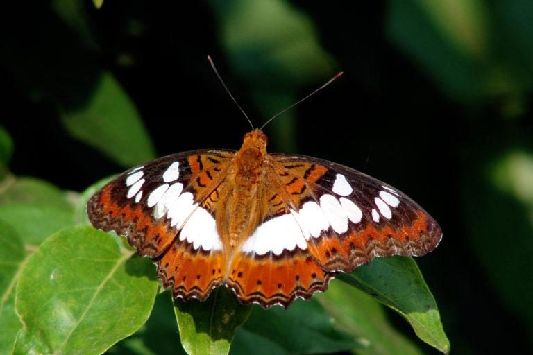 कमांडर तितली। यह तितली भोपाल स्थित बटरफ्लाई पार्क में देखी जा सकती है। फोटो- मोहम्मद खालिक