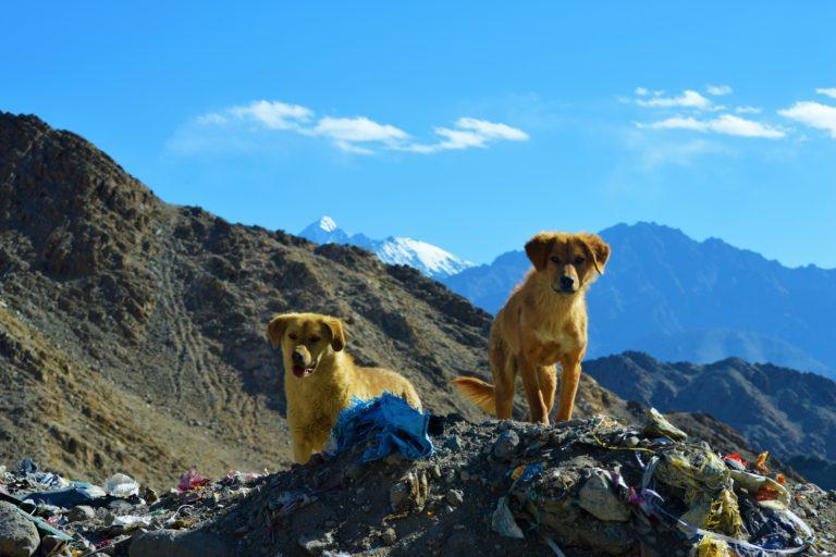 लेह के जंगलों में घूमते आवारा कुत्ते। जानकार मानते हैं कि घरेलू कुत्तों से वन्यजीवन को खतरा है। तस्वीर- अथर परवेज