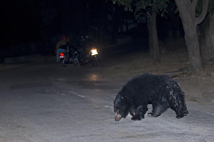 गुजरात में जंगल के करीबी इलाकों में भालू इस तरह सड़कों पर आ जाते हैं। फोटो- विक्की चौहान/विकिमीडिया कॉमन्स