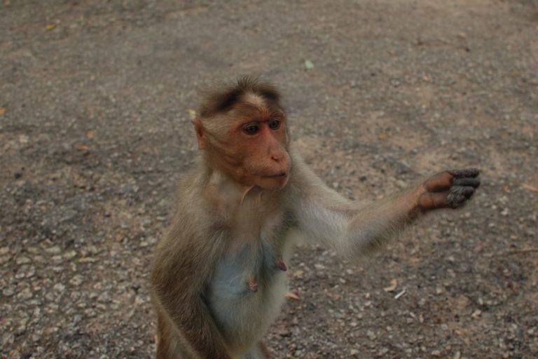 बोनट मकाक खाना मांगने के लिए इस तरह हाथ फैलाता है। तस्वीर- श्रीजाता गुप्ता