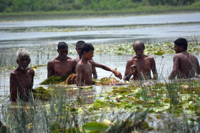 स्थानीय प्रजाति के जलीय पौधों को जमा कर मछुआरे नए तालाब में इसे रोपते हैं। इससे मछलियों के लिए चारा और तालाब का पोषण स्तर बढ़ता है। तस्वीर- बीएनवीएसएएम