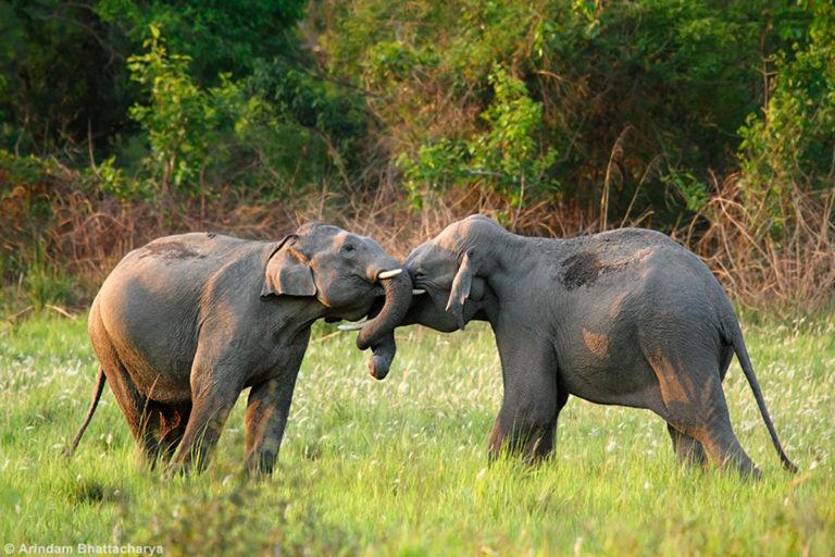 जिम कार्बेट नेशनल पार्क में दो एशियाई हाथी आपस में खेलते हुए। तस्वीर- अरिंदम भट्टाचार्य/फ्लिकर