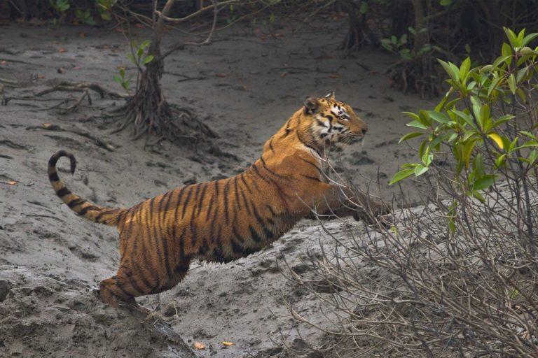 स्थानीय लोगों में आर्थिक संपन्नता आने की वजह से बाघ का संरक्षण आसान होता जा रहा है। तस्वीर- सौम्यजीत नंदी/विकिमीडिया कॉमन्स