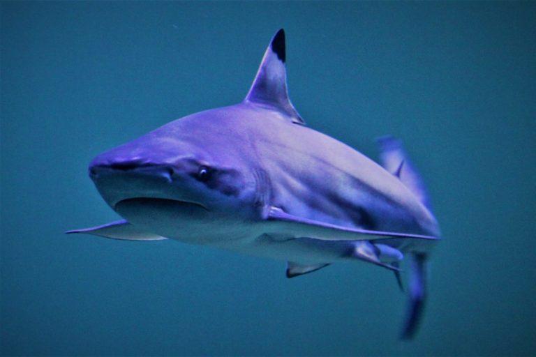 स्थानीय मछुआरों को काली धारी वाले शार्क अधिक मिलते हैं। तस्वीर- मेमुरुबु/विकिमीडिया कॉमन्स