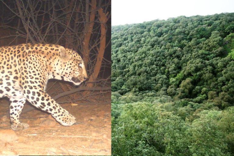 अरावली के जंगल में कैमरा ट्रैप में कैद हुई तेंदुए की तस्वीर। (बाएं) मांगर बनी का जंगल। (दाएं) तस्वीर- सुनील हर्सना और प्रदीप कृष्ण