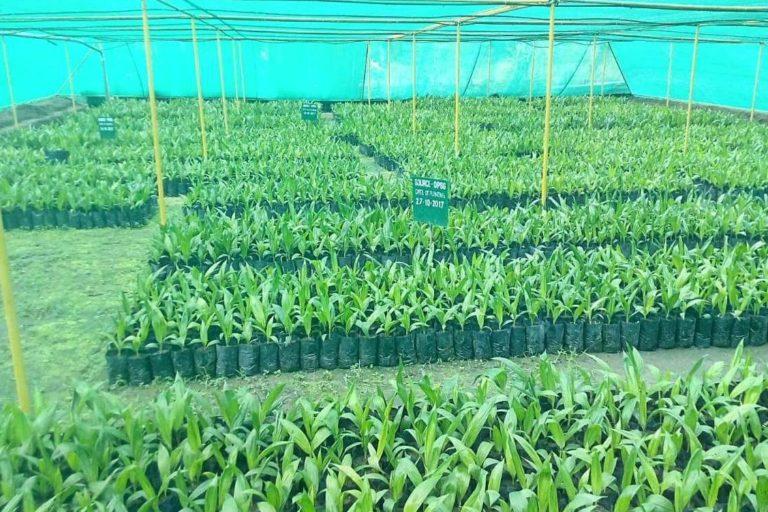 ताड़ के बीज से पौधों को नर्सरी में तैयार किया जाता है। तस्वीर साभार- ऑइल पाम इंडिया लिमिटेड