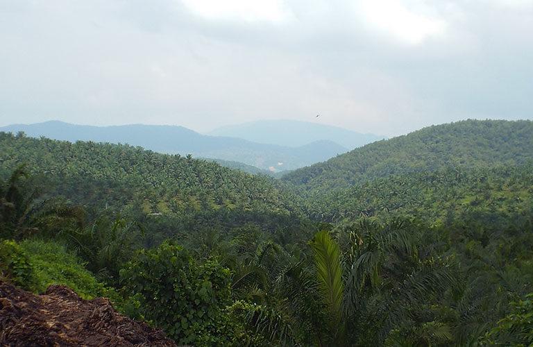 दक्षिण भारत पाम ऑइल के उत्पादन में देश में अग्रणी है। देश में होने वाले पाम ऑयल के कुल उत्पादन (278,000 टन) का 95 प्रतिशत उत्पादन आंध्र प्रदेश और तेलंगाना में होता है। तस्वीर साभार- ऑइल पाम इंडिया लिमिटेड