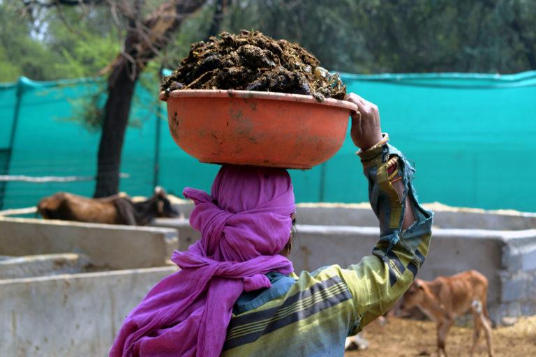 जुलाई 2020 में छत्तीसगढ़ में गौठानों में 'गोधन न्याय योजना' के तहत 2 रुपये प्रति किलो की दर से गोबर की ख़रीदी शुरु की गई। तस्वीर- आलोक प्रकाश पुतुल