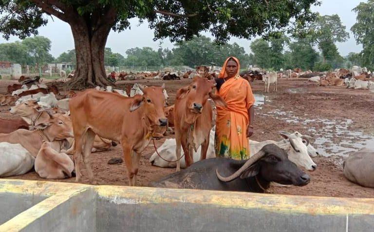 गोधन न्याय योजना के तहत छत्तीसगढ़ के दुर्ग जिले की द्रौपदी के पास 65 गाय हैं। वह हर महीने सरकार को गोबर बेचती हैं। तस्वीर- डीपीआर छत्तीसगढ़