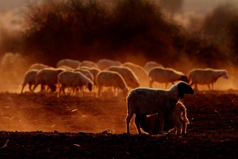 रेगिस्तान में भेड़ों का एक झुंड