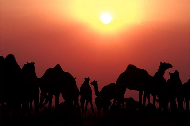 थार में सूर्यास्त के समय ऊंटों का एक झुंड। तस्वीर- डॉ. गोबिंद सागर भारद्वाज
