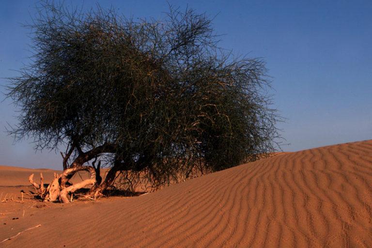 थार में एक स्थानीय पौधा। रेगिस्तान फूल और जैव-विविधता का विशाल और अद्वितीय खजाना है। तस्वीर- डॉ. गोबिंद सागर भारद्वाज