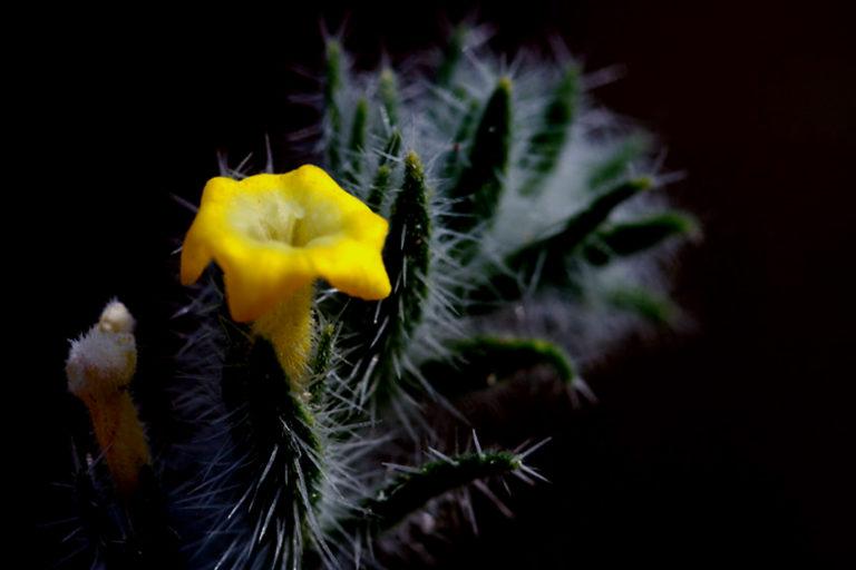 रेगिस्तान का एक फूल। थार असामान्य और दुर्लभ किस्म के कई फूल और जीवों का गढ़ है। इस किताब में ऐसे कई प्रजातियों का जिक्र मिलता है। तस्वीर- डॉ. गोबिंद सागर भारद्वाज