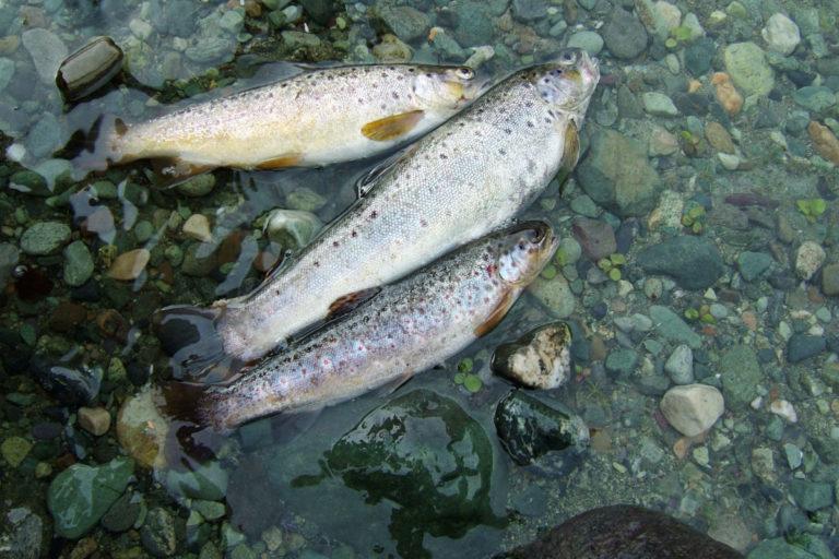 कश्मीर के पहलगाम घाटी में ट्राउट मछली। तस्वीर- मैथ्यू लैयर्ड एकर्ड / विकिमीडिया कॉमन्स