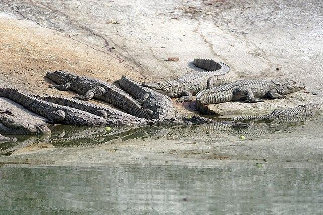 सज्जनगढ़ बायोलाजिकल पार्क, उदयपुर में आराम करता एक मगरमच्छ