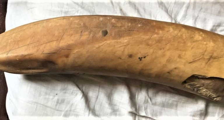 रुद्रपुर में 17 मार्च को की गई थी हाथी दांत की बरामदगी। तस्वीर-वाइल्ड लाइफ क्राइम कंट्रोल ब्यूरो