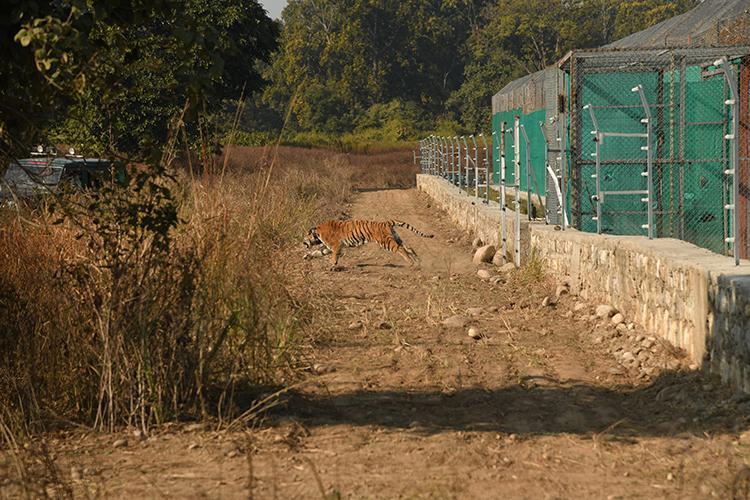 बाघ को खुले जंगल में छोड़ते हुए संरक्षणकर्ता। आर्टिफ़िशियल इंटेलिजेंस की मदद से बाघ की खाल पर बने पैटर्न के आधार पर इन्हें पहचाना जा सकता है। इस तकनीक की वजह से संरक्षणकर्ताओं को बाघ पहचानने में काफी आसानी हो रही है। तस्वीर- सिद्धार्थ उमरिया/डब्लूडब्लूएफ इंडिया