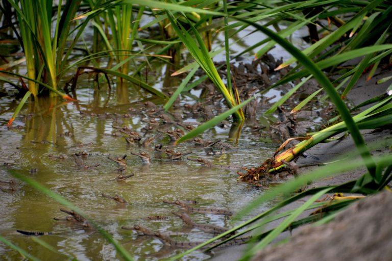 अंडे से निकलने के बाद पानी में तैरते नन्हे घड़ियाल। तस्वीर- गौरव वशिष्ठ