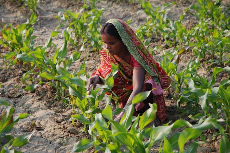 बिहार के समस्तीपुर जिले में मक्के के खेत में निराई-गुड़ाई करती एक महिला किसान। तस्वीर- एम. डीफ़्रीज़/सीआईएमएमवाई/फ्लिकर