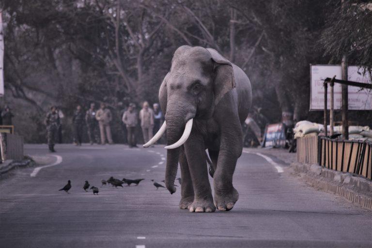 राष्ट्रीय राजमार्ग 74 पर टहलता हुआ एक नर हाथी। तस्वीर- राजीव मेहता, राजाजी नेशनल पार्क के पूर्व ऑनरेरी वाइल्डलाइफ वार्डन