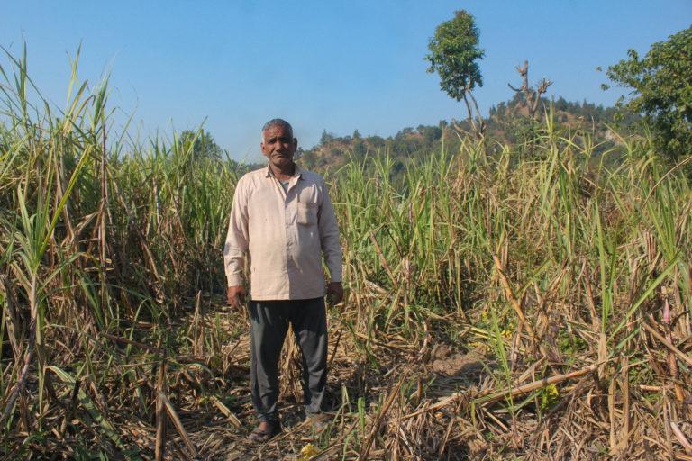 हाथियों द्वारा तबाह गन्ना के खेत में खड़े पीली पडाव गांव के बहुगुणा जीवन।तस्वीर- राधिका गुप्ता