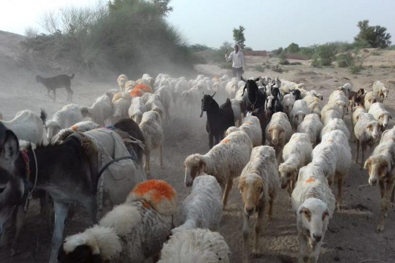 सैकड़ों किलोमीटर घूमकर पशु चराने वाले राजस्थान के घुमक्कड़ चरवाहे कोविड-19 से हुए हलकान, बीच में छोड़ी यात्रा