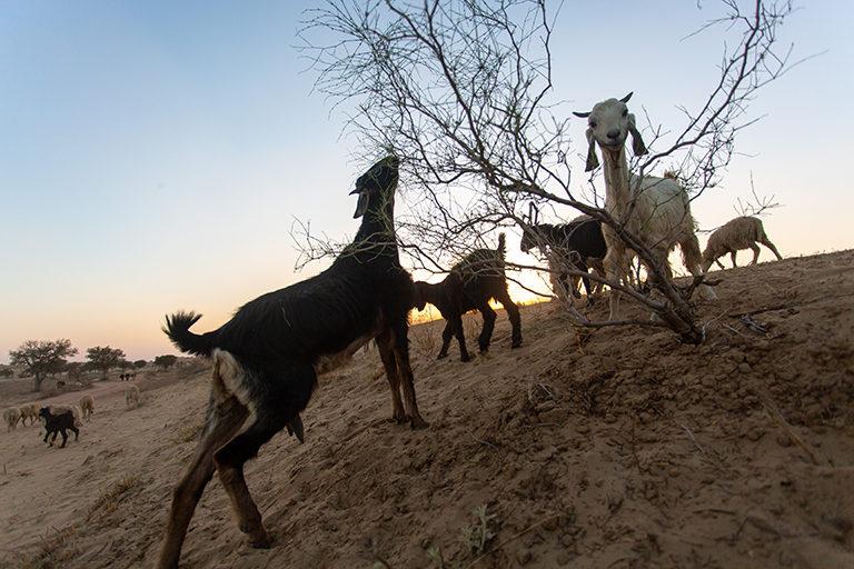 राजस्थान के चरवाहेः मरुस्थल में वनस्पति की कमी है, लेकिन बीच में ही पलायन के लौटे जानवरों की वजह से इन्हें खाने वालों की संख्या अचानक बढ़ गई है। नतीजतन, किसी का पेट नहीं भर रहा और जानवर कुपोषण की वजह से बीमारियों के शिकार हो रहे हैं। तस्वीर- पार्था हजारिका, डेजर्ट रिसोर्ट सेंटर