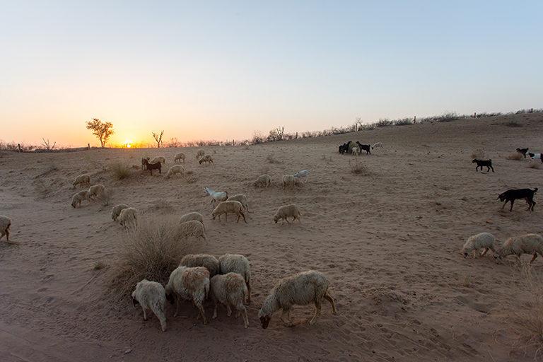 राजस्थान के चरवाहेः मरुभूमि में गर्मी के दिनों में वनस्पति सूखने की वजह से पशुओं के लिए चारे की कमी हो जाती है। कोविड-19 महामारी ने समस्या को और गंभीर बना दिया और इस बात का फायदा उठाकर बाजार में चारे और पानी की कीमत बढ़ा दी गई। अब चरवाहों के सामने कोई रास्ता नहीं दिखता। तस्वीर- पार्था हजारिका, डेजर्ट रिसोर्ट सेंटर