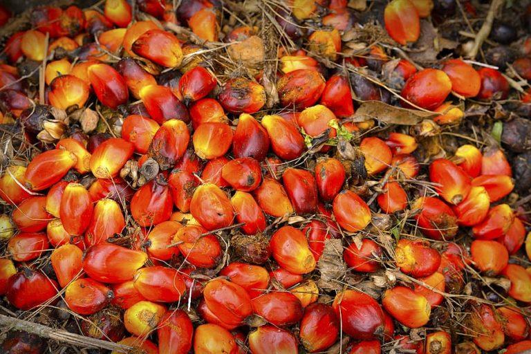 पाम के फलों से पाम ऑइल निकाला जाता है। हमारे सुपरमार्केट के लगभग 50 प्रतिशत उत्पादों में किसी न किसी रूप में पाम ऑयल मौजूद है। तस्वीर- नेहा सिमलई