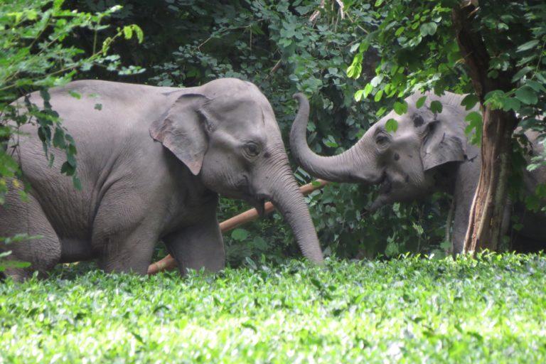 चाय बागान में हाथी। तस्वीर- अंशुमा बासुमतारी