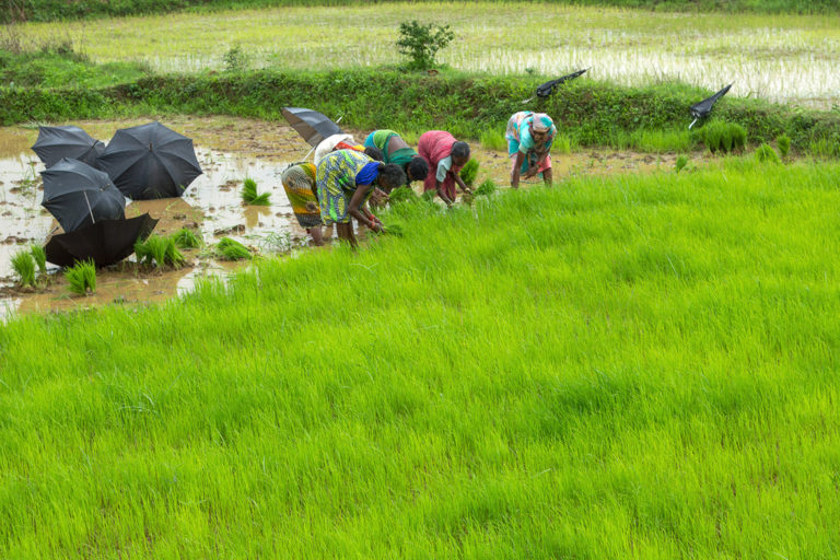 छत्तीसगढ़: धान के खेतों में वृक्षारोपण से किसका भला करना चाहती है सरकार!