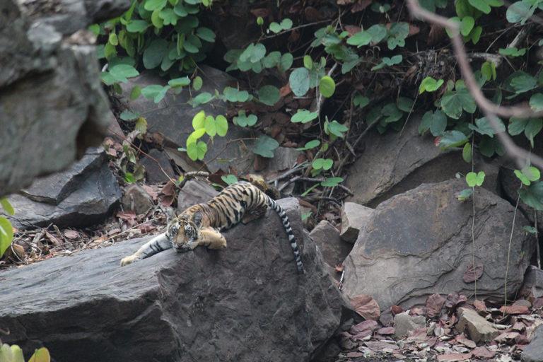 बाघिन की मृत्यु के दो दिन बाघ पन्ना टाइगर रिजर्व के ग्राउंड स्टाफ को चार शावक मिले। इनके पिता ने इनकी देखभाल की इसलिए शावक तंदरुस्त और खेलते हुए नजर आए। तस्वीर- पन्ना टाइगर रिजर्व