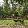 रोजी-रोटी के लिए वन गुज्जर मवेशियों पर निर्भर है। वन विभाग की सख्ती की वजह से वे मवेशी चराने के लिए जंगल नहीं जा सकते। तस्वीर- निशांत सैनी