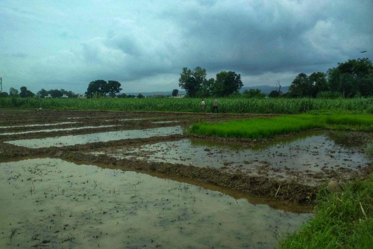 देहरादून के धान के खेत। समय पर मौसम की जानकारी मिलने से किसानों को सिंचाई और कीटनाशक छिड़काव जैसे निर्णयों में मदद मिलती है। तस्वीर- वर्षा सिंह