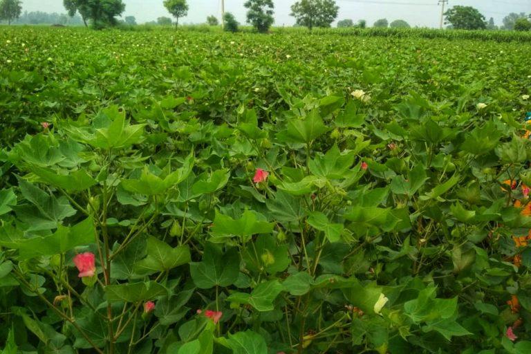 हरियाणा के किसान राजकुमार सिंह का खेत। हरियाणा के किसानों पर एक अध्ययन किया गया और राजकुमार सिंह उस अध्ययन के हिस्सा रहे हैं। तस्वीर- राजकुमार सिंह