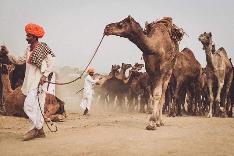वर्ष 2019 के पुष्कर मेले में ऊंट से अधिक घोड़े बिकने आए थे। तस्वीर- ए वाहनवती/विकिमीडिया कॉमन्स।