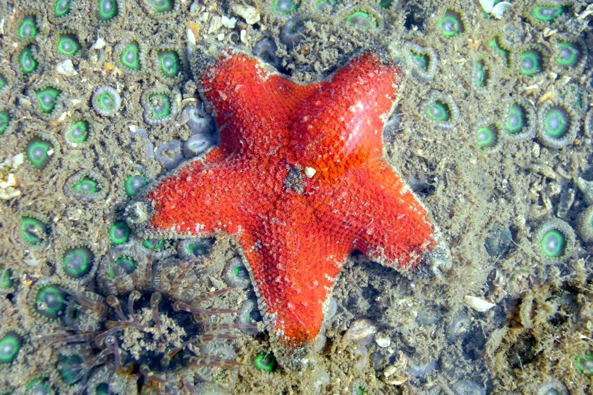 समुद्री तारा या सी स्टार (Aquilonastra anomala) तस्वीर- प्रदीप पटाडे