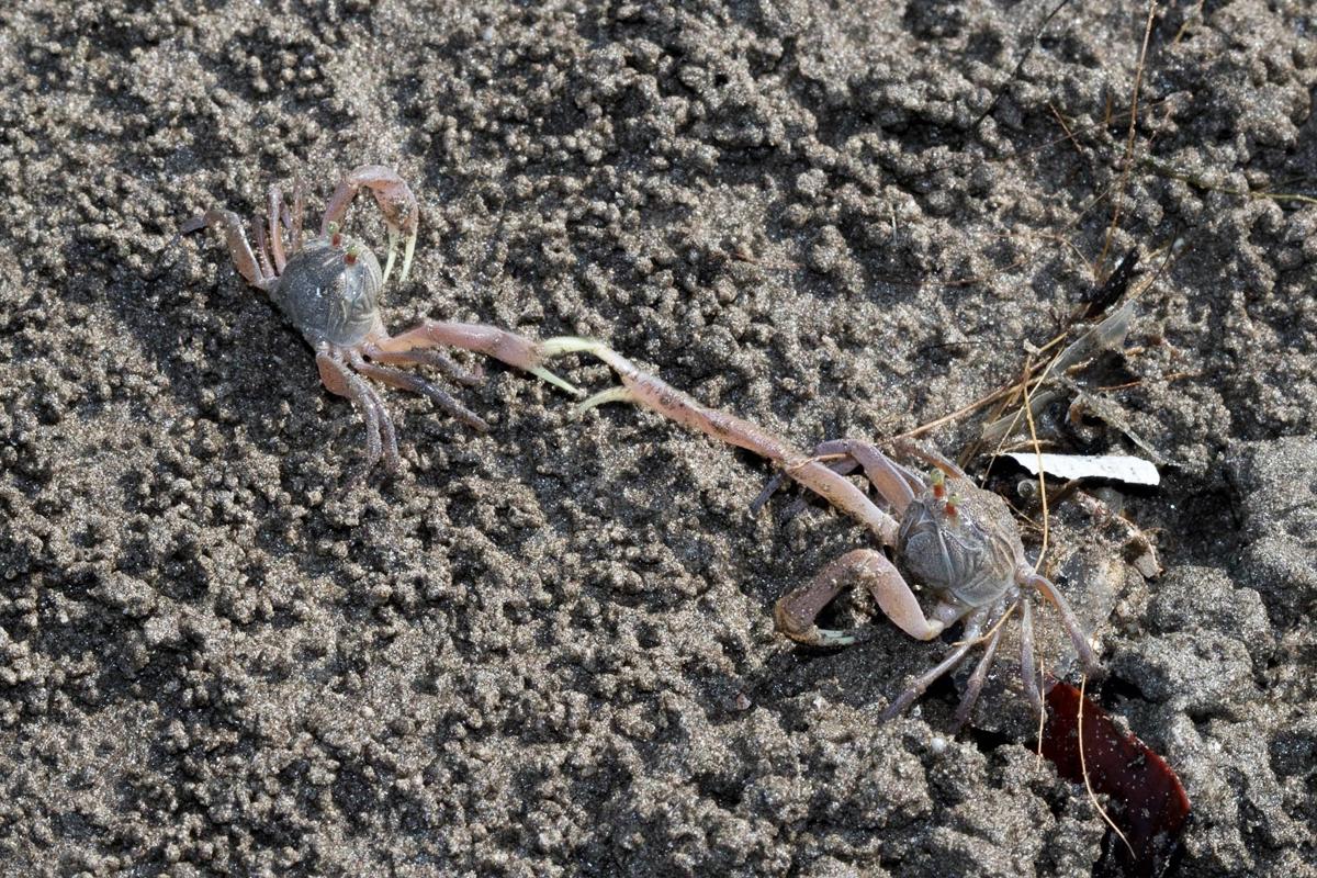 सैंड बब्लर केकड़ा (Dotila myctiroides)तस्वीर- शौनक मोदी