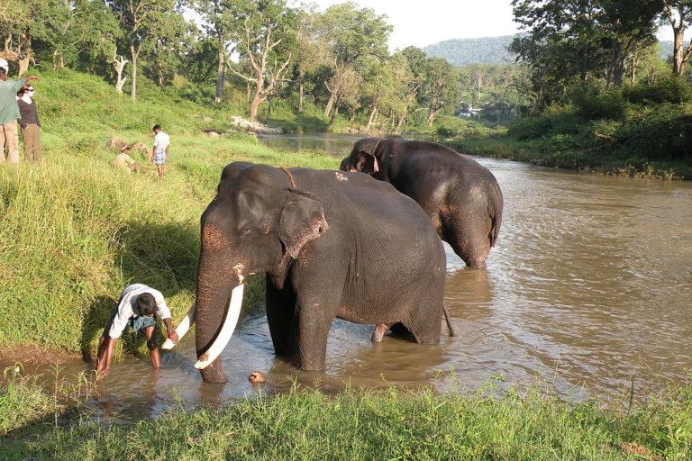 केरल-कर्नाटक सीमा पर स्थित मुदुमलाई वन्यजीव अभयारण्य में हाथियों की सेवा करते वनकर्मी। तस्वीर- ए जे टी जॉनसिंह, डब्ल्यूडब्ल्यूएफ-इंडिया और एनसीएफ/विकिमीडिया कॉमन्स