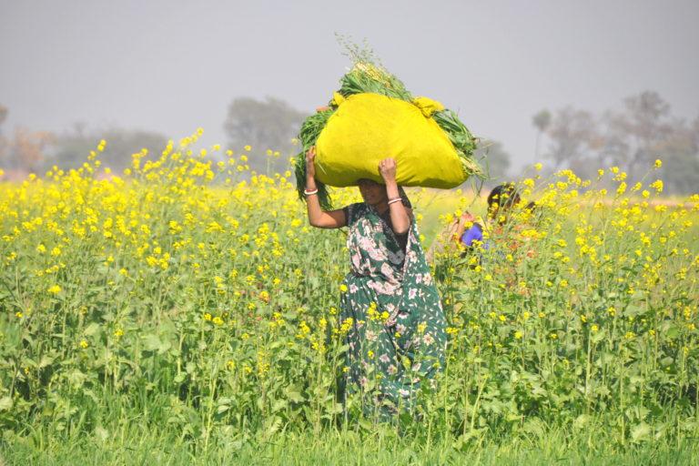 बिहार के जामनापुर गांव में सरसो के खेत के बीच महिला किसान। जलवायु परिवर्तन की चपेट में आए बिहार के पास फसल उत्पादन के आंकड़े मौजूद नहीं हैं। तस्वीर- पी कैसियर (सीजीआईएआर)/फ्लिकर